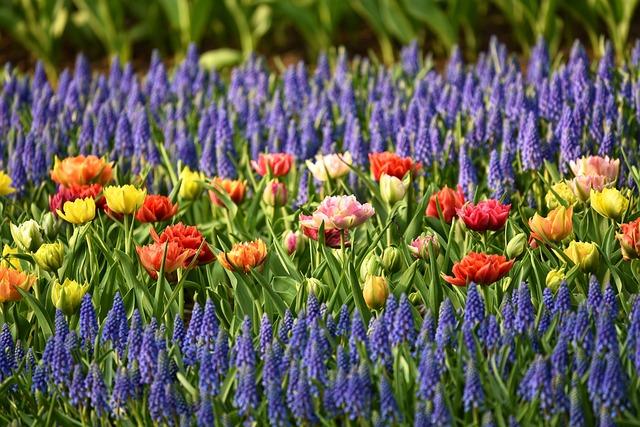 Muscari, Tulip, Flower, Flowerbed, Garden, Blossom