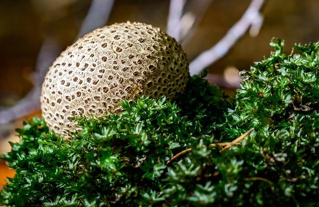 Bovist, Umbrinum, Mushroom, Mushroom Dust