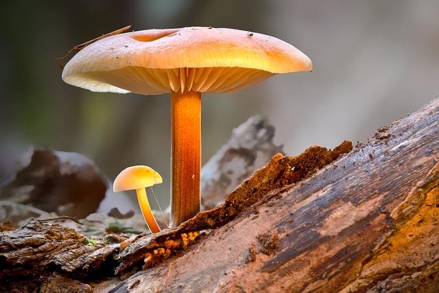 Mushroom, Velvet Foot Oyster Mushroom, Mini Mushroom