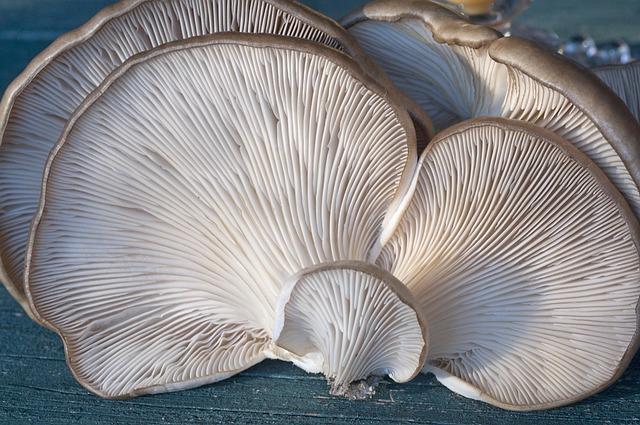 Fungi, Oyster, Mushroom