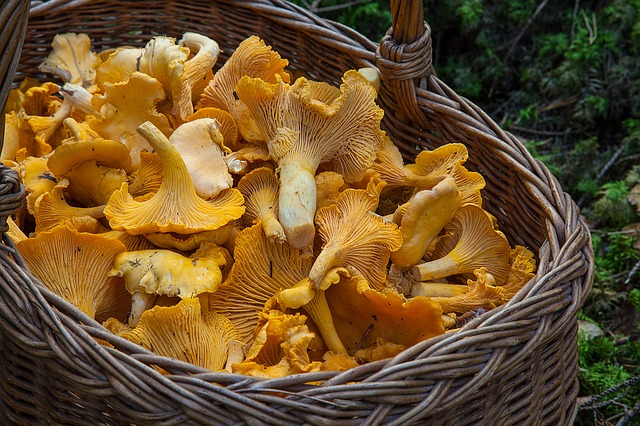 Sponge Basket, Chanterelle Mushrooms, Mushroom Picking