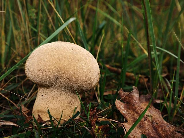Bovist, Mushroom, Purse Puffball, Umbrinum