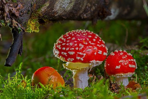 Fly Agaric, Mushroom, Red Fly Agaric Mushroom, Autumn