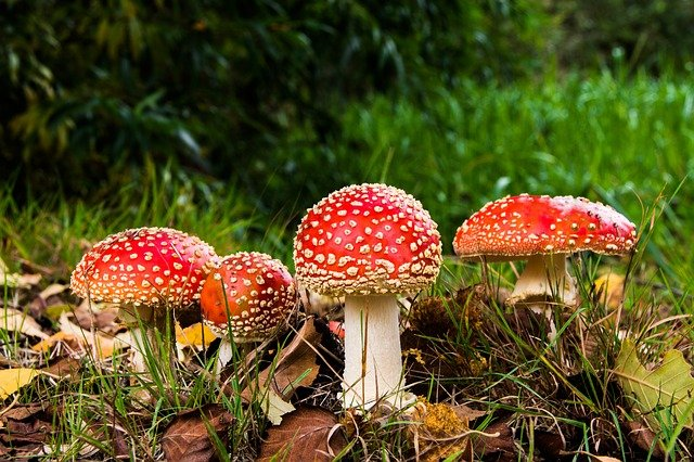 Matryoshka, Red Fly Agaric Mushroom, Mushrooms, Forest