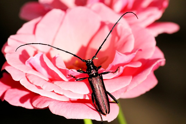Musk Beetle, Beetle, Insect, Blossom, Bloom, Summer