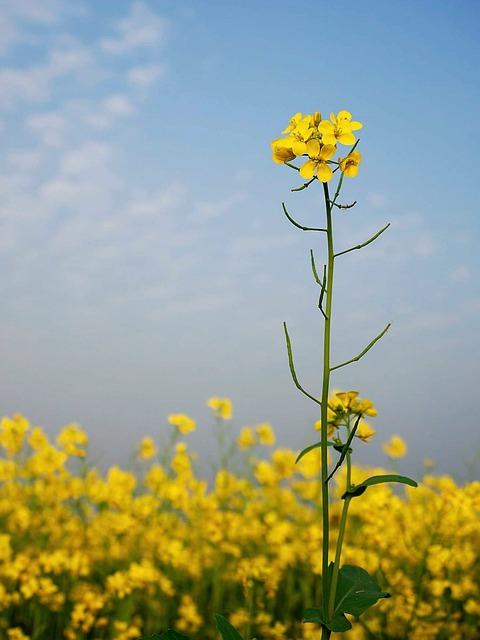 Mustard, Flower, Yellow, Nature, Bangladesh