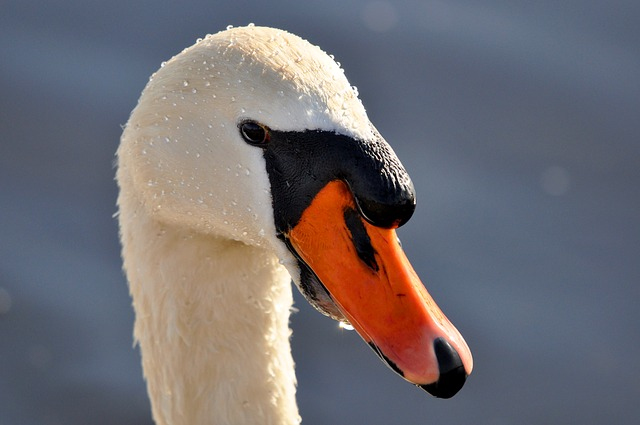 Mute Swan, Swan, Animal, Bird, Waterfowl, Cygnus Olor