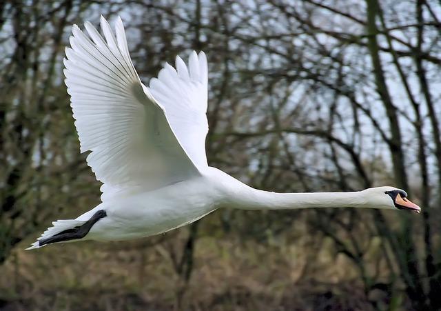 Swan, Flying, Wing, Mute Swan, Cygnus Olor, Duck Bird