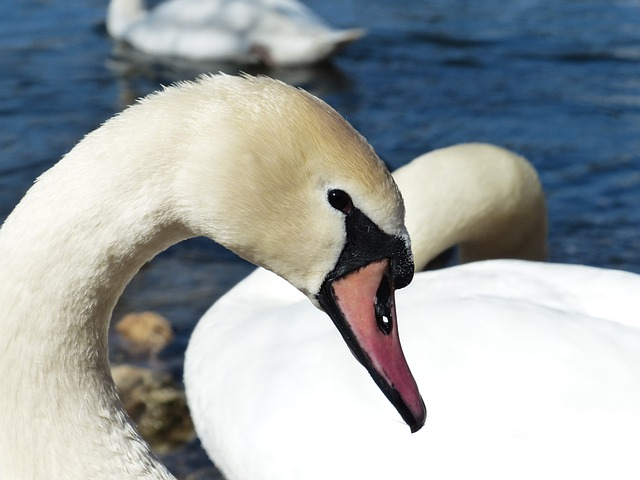 Mute Swan, Swan, Bird, River, Lake, Waters, Water, Swim
