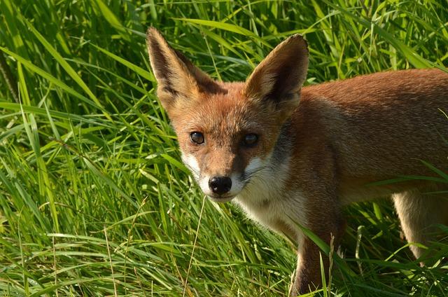 Fox, Predator, Mammal, Fauna, Wild, Nature, Naardermeer