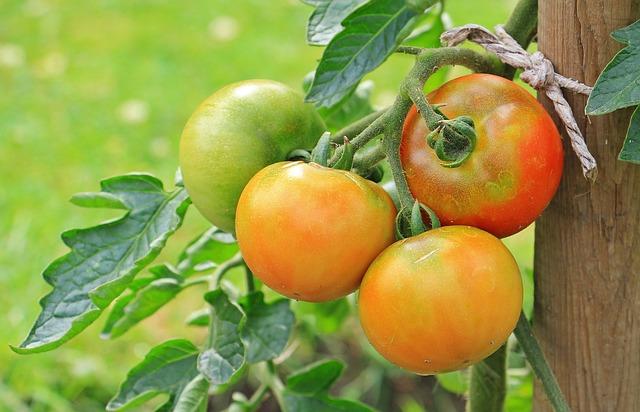 Tomatoes, Vegetables, Nachtschattengewächs, Food Crop