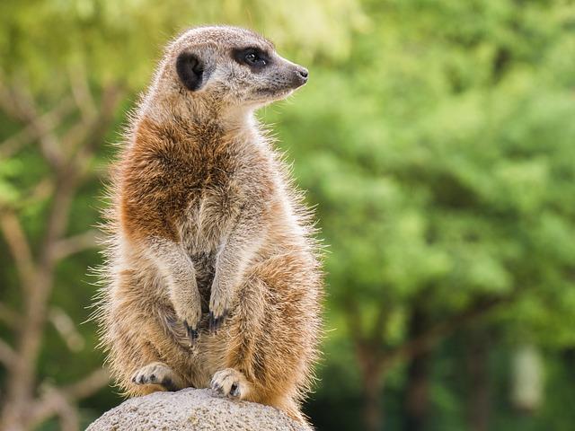 Meerkat, Animal, Nager, Rodent, Vigilant