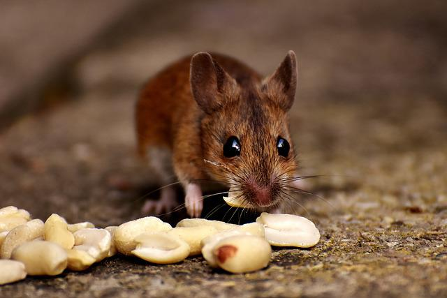 Wood Mouse, Nager, Cute, Eat, Peanuts, Mammal, Mouse