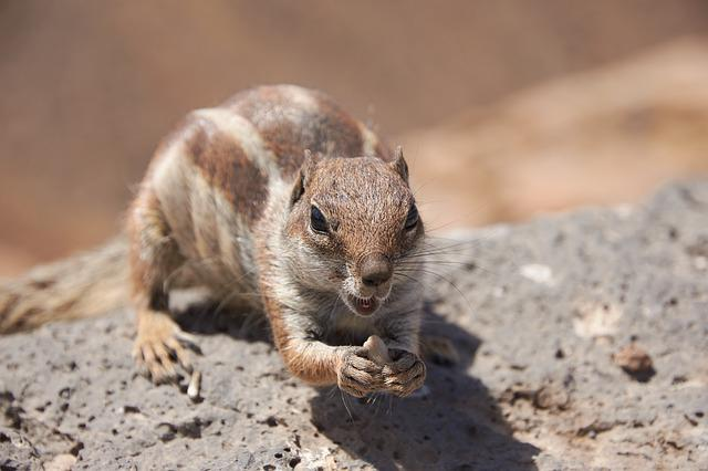 Gophers, Chipmunk, Nager, Fur, Cute, Croissant, Close