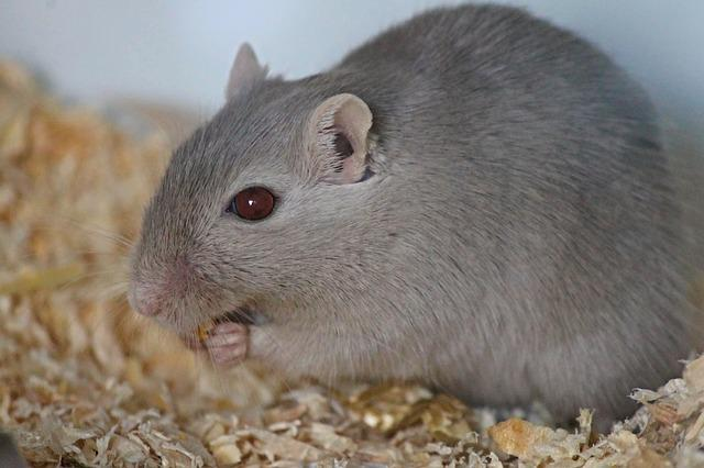 Gerbil, Rennratte, Mouse, Rat, Muridae, Nager