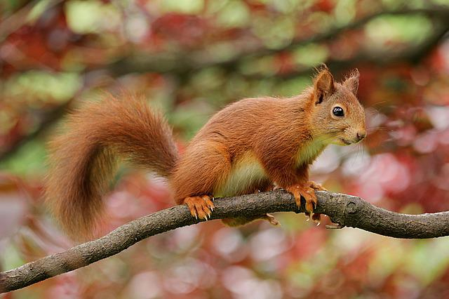 Squirrel, Nager, Rodent, Animal, Parus Major, Climb