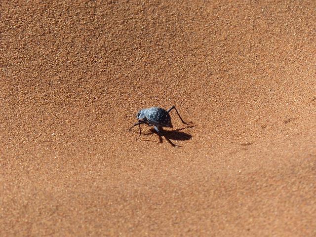 Sossusvlei, Beetle, Namib Desert, Wüstensand, Desert