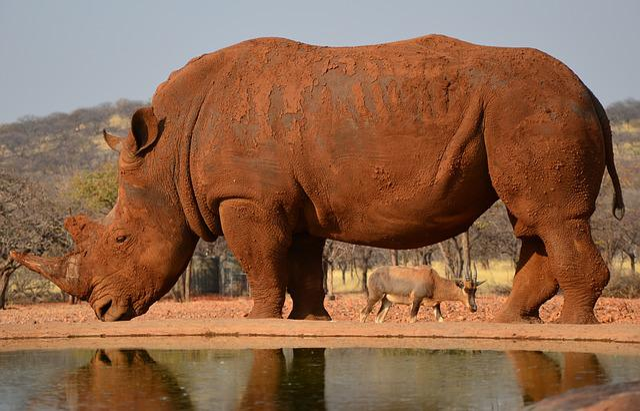 Rhino, Africa, Namibia, Horn, Animal, Big Game