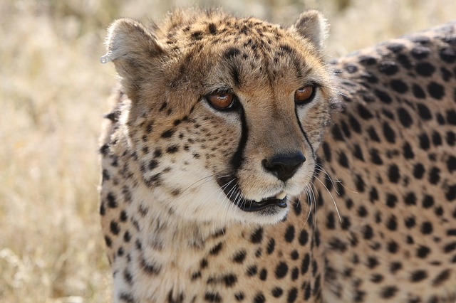 Cheetah, Namibia, Nature, Wild Life, Predator, Hunt