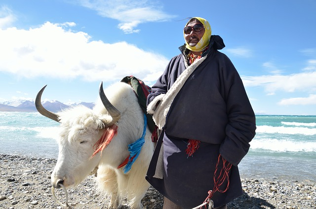 Tibet, Tibetans, Namtso, Lake, Yak, White Cow