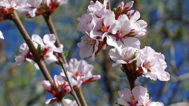 Nanking Cherry, Blossom, Spring, Bloom, Flower, Pink