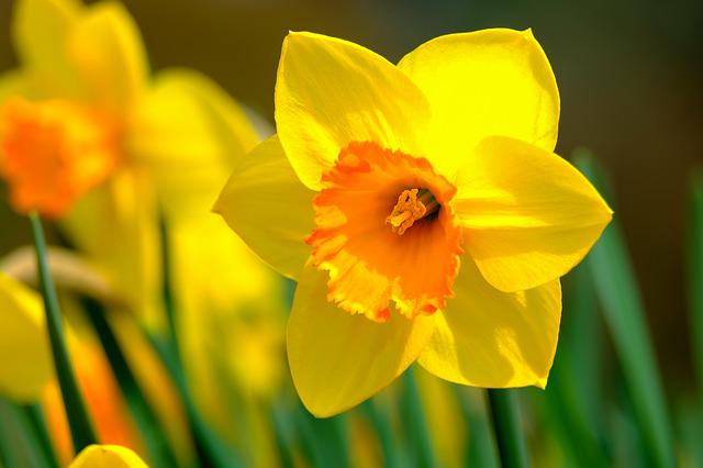 Narcissus, Flower, Spring, Bright, Nature, Bloom, Sunny