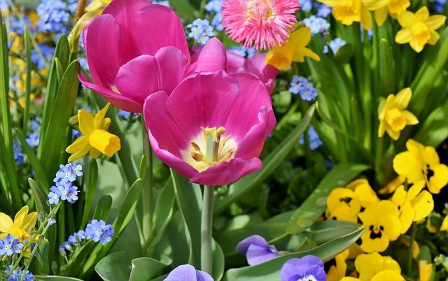 Tulip, Narcissus, Daffodil, Narcissus Pseudonarcissus