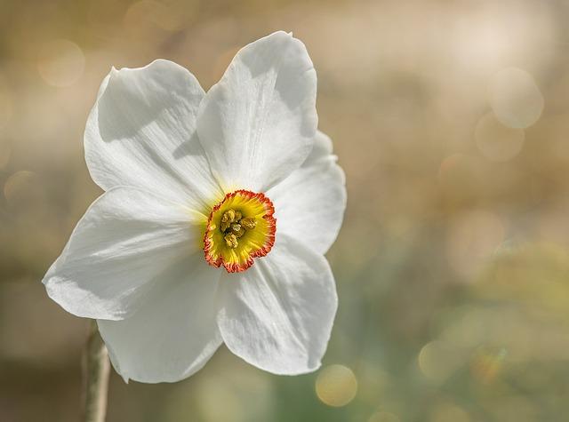 Narcissus, Garden, White Daffodil, Dense Daffodil