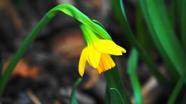 Narcissus, Early Bloomer, Flower, Spring, Easter, Plant