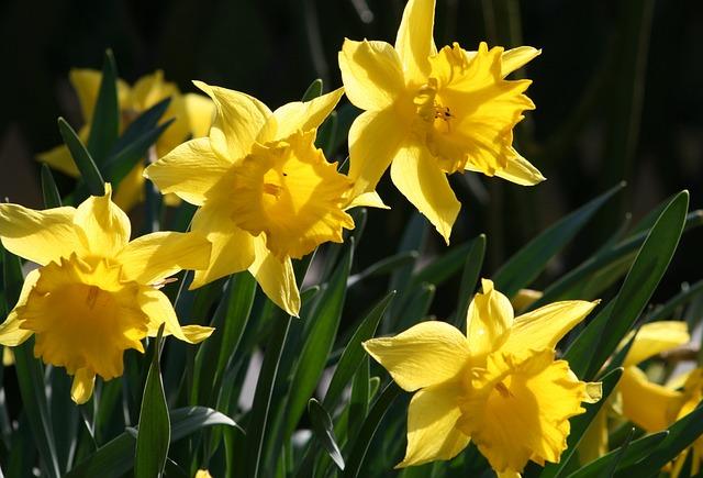 Flower, Plant, Narcissus Pseudonarcissus, Narcissus