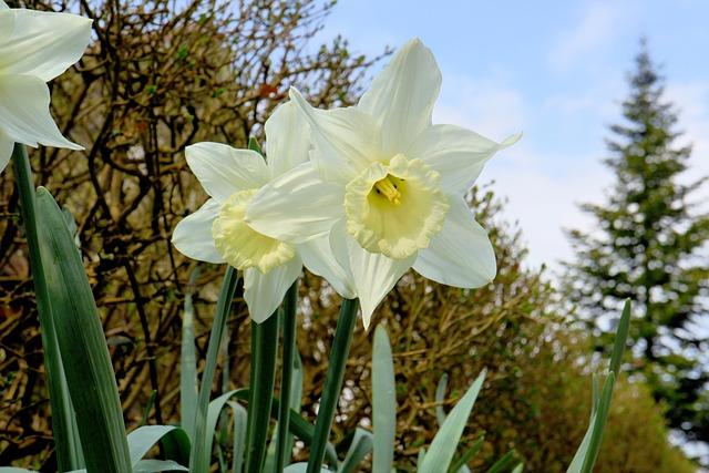 Nature, Flower, Plant, Season, Leaf, Narcissus, White
