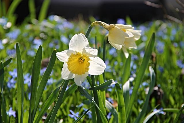Narcissus, Narcissus Pseudonarcissus, Ostergloeckchen