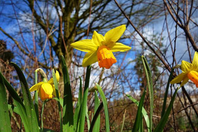 Daffodil, Flower, Plant, Narcissus, Spring Flower