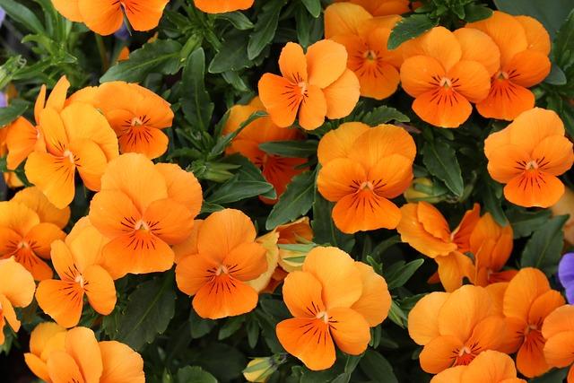Nasturtium, Flowers, Carbine Greenhouse, Garden