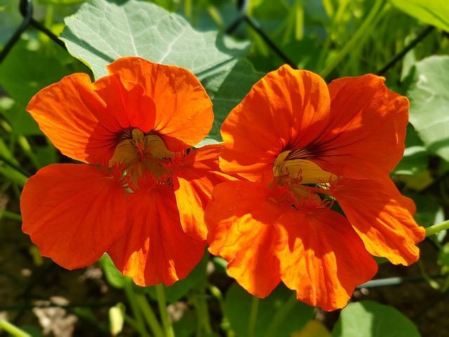 Nasturtium, Flowers, Summer