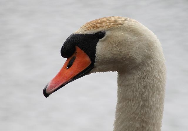 Swan, He, Swimming Bird, Danish, National Bird, Water