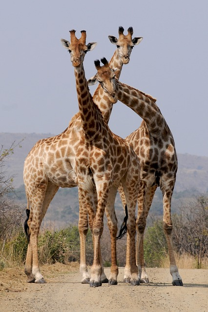 South Africa, National Park, Hluhluwe, Giraffes