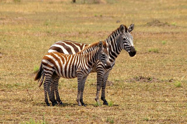Zebra, Africa, Black And White, Safari, National Park