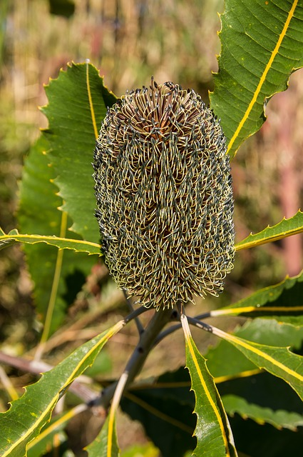 Banksia, Flower, Seeds, Australia, Native, Green