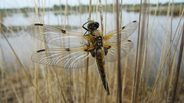 Libelle, See, Teich, Gewässer, Insekt, Natur, Moor