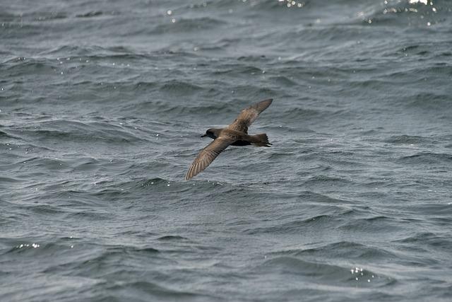 Waters, Sea, Ocean, Natural, Bird, High The Shearwater