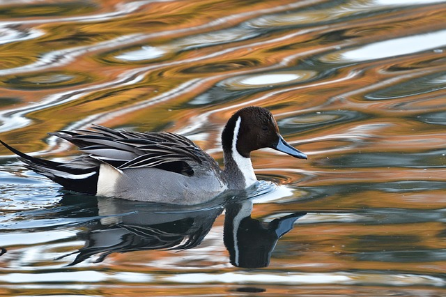 Bird, Wild Animals, Waters, Duck, Natural, Pintail