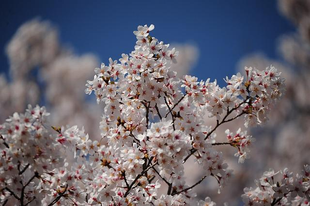 Flowers, Cherry, Wood, Branch, Natural, Spring