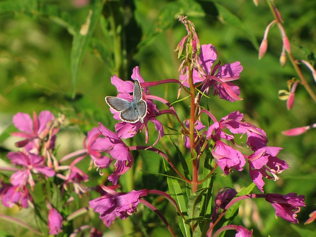 Fireweed, Natural Flower, Blue Wing, Butterfly