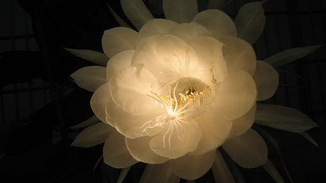 Flower, Queen Of The Night, Natural, White, Flowers