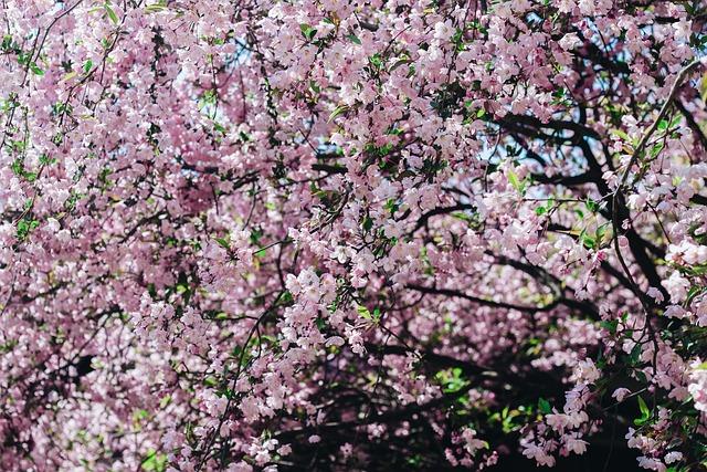 Sakura, Flower, Cherry Flowers, Pink Flower, Natural