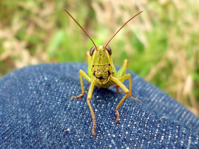 Natural, Bug, Insect, Grasshopper, Creatures