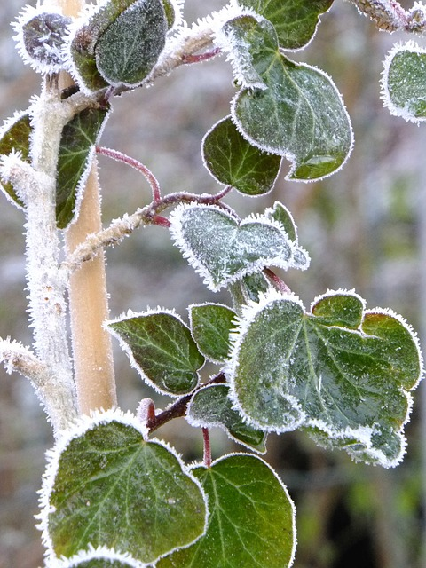 Macro, Frost, Ivy, Green, Plant, Natural, Winter
