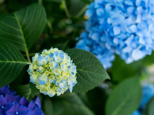 Hydrangea, Flowers, Rainy Season, Natural, Plant