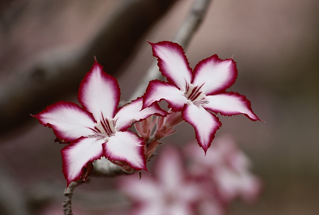 Flower, Impala Lily, Floral, Plant, Natural, Blossom